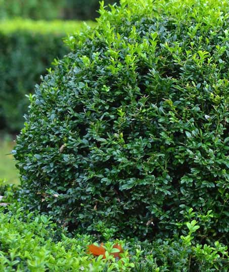 GLC Property Maintenance Services  Shrubs & Hedges